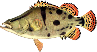рыба Ауха