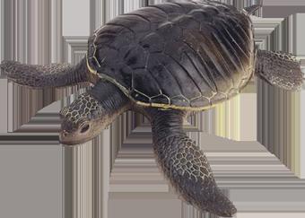 Каспийская черепаха (Mauremys caspica)