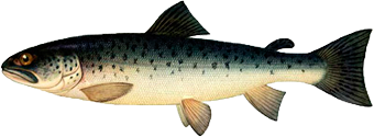 Рыбалка - Быстрая форель как подкаменщик