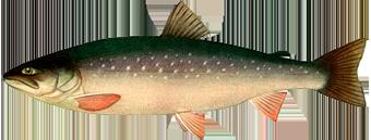 рыба Голец арктический