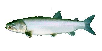 Рыба Голец Черского
