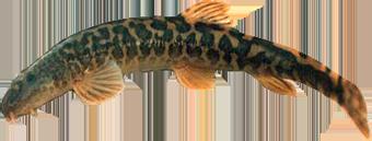 Рыба Голец усатый