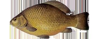 якутский карась (Carassius carassius jacuticus)