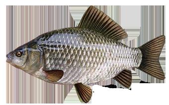 карась серебряный (Carassius auratus)