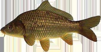 Карп чешуйчатый (Cyprinus regius)