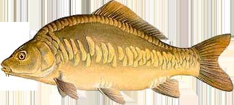 Карп зеркальный (Cyprinus specularis)