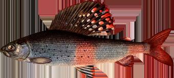 Хариус Сибирский (Thymallus arcticus)