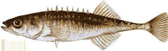 Колюшка девятииглая (Pungitius pungitius)