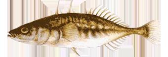Колюшка трехиглая (Gasteroisteus aculeatus)