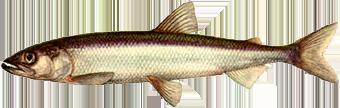 Корюшка (Osmerus eperlanus)