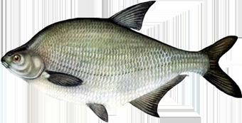 рыба Лещ (Abramis brama)