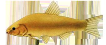 линь золотистый (Tinca aurea Cuv. T. chrysitis)
