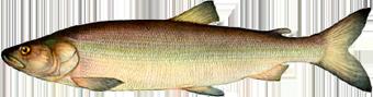 нельма (Stenodus leucichthys nelma)