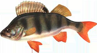 окунь(Perca fluviatilis)