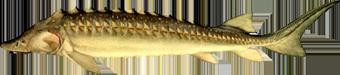 осетр русский (Acipenser gueldenstaedtii)