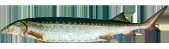 осетр персидский (Acipenser persicus)