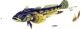 подкаменщик обыкновенный (Cottus gobio)