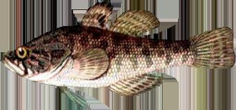 ротан (Percсottus glenii)
