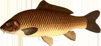 сазан (Cyprinus carpio)