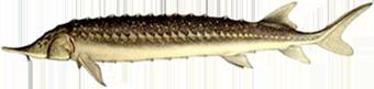 севрюга (Acipenser stellatus)