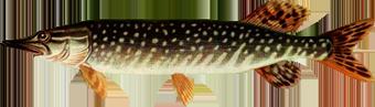 щука обыкновенная (Esox lucius)