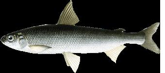 сибирская ряпушка (Coregonus sardinella)