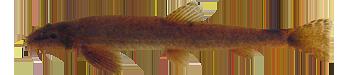 Сибирский голец-усач (Barbatula toni)