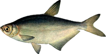 синец (Abramis ballerus)