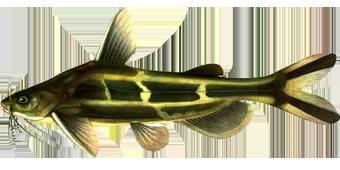 косатка, скрипун (Pelteobagrus fulvidraco)