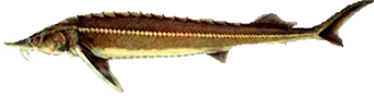 амурский толстолобик