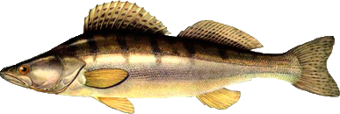 судак (Sizostedion lucioperca)