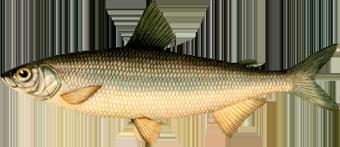 Тугун (Coregonus tugun)