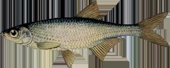 Уклейка (Alburnus alburnusi)