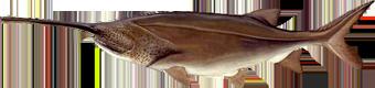 Веслонос (Polyodon spathula)