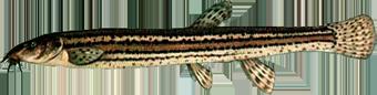 Вьюн (Misgurnus fossilis)
