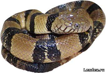 Водяная кобра
