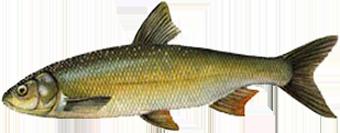 Вырезуб (Rutilus frisii)