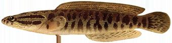 Змееголов (Channa argus)