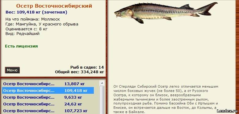 русский севрюга  наживка