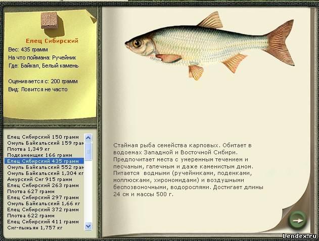 елец сибирский рыбалка