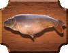 Карп гигантский (Catlocarpio siamensis)