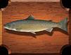 рыба Лосось Атлантический, Семга (Salmo salar)
